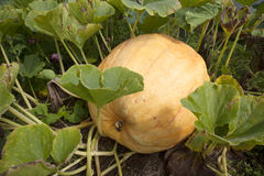 Big pumpkin in garden Stock Photo