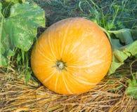 Big pumpkin Stock Photography
