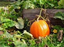 Big pumpkin Royalty Free Stock Photos