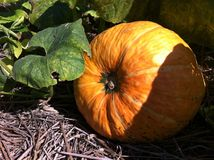 Big pumpkin. Big orange pumpkin in the vegetable garden stock photo