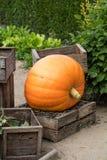 Big pumpkin set on wooden chips in vintage decorative crates Stock Image