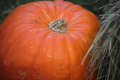 Big pumpkin. Stok of big bright orange pumpkins Royalty Free Stock Image