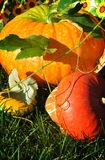 Big Pumpkin in Sunshine Royalty Free Stock Photo