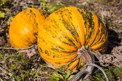 Big pumpkin with visible skin texture. Royalty Free Stock Photography
