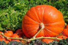 Free Big Pumpkins Royalty Free Stock Photo - 18021115