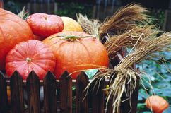 Big pumpkins Royalty Free Stock Images