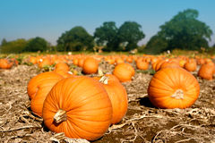 Big Pumpkins Drying Out Stock Photography
