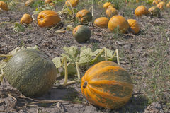 Big pumpkins in a field Stock Images