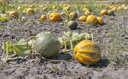 Big pumpkins in a field Royalty Free Stock Photo