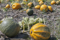Big pumpkins in a field Royalty Free Stock Images