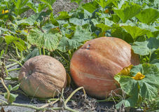 Big pumpkins in the garden Royalty Free Stock Photo