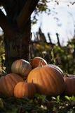 Big pumpkins on grass Stock Photography
