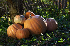 Big pumpkins on grass Royalty Free Stock Photo