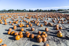 Big pumpkins grow on a field Stock Photos