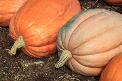 Big Pumpkins Royalty Free Stock Photo