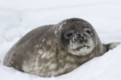 Big pup Weddell seals lying in the snow near the Stock Photos