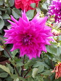Big purple dalia. Beautiful flower is smiling to you.Nice blossom Royalty Free Stock Photography