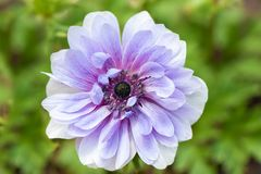 Big flower blooming in the garden Royalty Free Stock Images