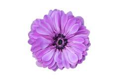 Big purple flower isolated on white background.  royalty free stock image