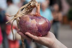Big purple onion in hand at the market Royalty Free Stock Images