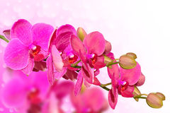 Big purple orchid flowers branch on blurred bokeh Stock Image