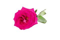 Big purple roses Royalty Free Stock Photo