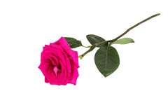 Big purple roses Royalty Free Stock Photography