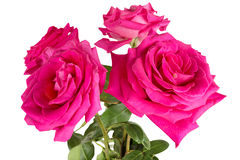 Big purple roses Royalty Free Stock Images