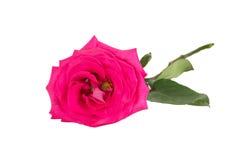 Big purple roses Stock Photo
