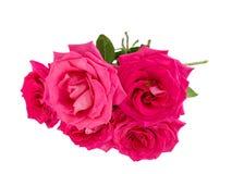 Big purple roses Stock Image