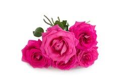 Big purple roses Stock Photography