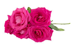 Big purple roses Royalty Free Stock Photos