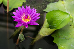 Big purple water lily Stock Photography