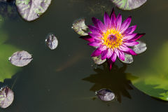 Big purple water lily Royalty Free Stock Photos