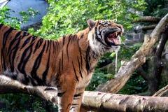 Big cat. A beautiful tiger bears it`s teeth stock photography