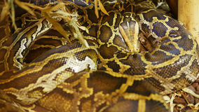 Big Python. A giant tiger python in the vivarium Stock Images