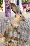 Big rabbit on the market Royalty Free Stock Photography