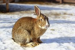 Big rabbit on snow Royalty Free Stock Photography