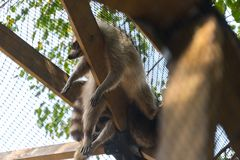 Big raccoon sleeping in a cage on a country safari farm stock photo