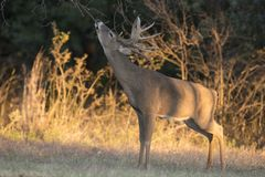 Big racked whitetail buck making a scent marking on overhanging twig. In last evening light royalty free stock photography