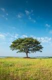 Big rain tree with dry grass and blue sky background in Huawjarakaemak reservoir,Buriram Royalty Free Stock Images