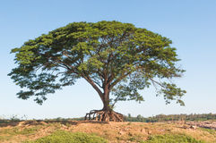 Big rain tree. Stock Photography