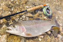 Big rainbow trout Royalty Free Stock Image