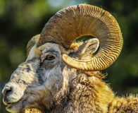 Big ram in profile, Banff National Park, Alberta, Canada. Ram with large set of curly horns in side view profile Royalty Free Stock Photo
