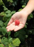Big raspberry on child's palm Royalty Free Stock Photo