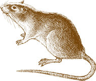 Big rat. The vector drawing of a rat in style of a sketch Royalty Free Stock Photos