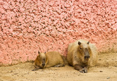 Big rat. Two big rats beside the pink wall Royalty Free Stock Photo