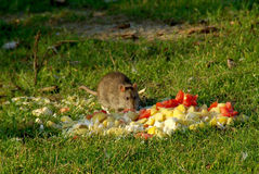 Big rat eats abandoned waste stock photos