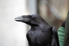 Big raven profile. Big old clever tame raven Stock Photos