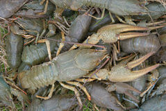 Big raw crayfish. Big crayfish on a background of other crayfishes Stock Images